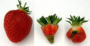 Strawberries, Fragaria x annanasa Duch., after open insect-pollination (left), passive self-pollination (middle) and passive self-pollination and wind-pollination (right). (Photo by Kristine Krewenka, Agroecology, Göttingen, Germany.)